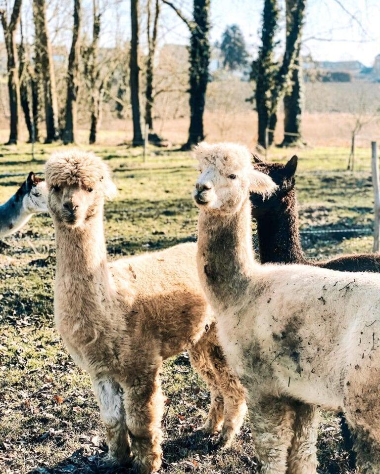 Lamas blanc à Indrani Lodge près de Charleroi et Bruxelles